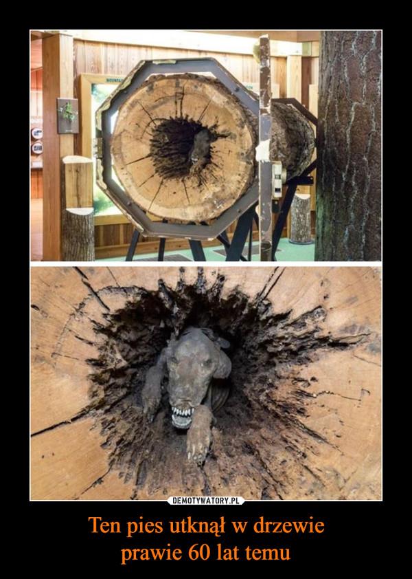 Ten pies utknął w drzewieprawie 60 lat temu –
