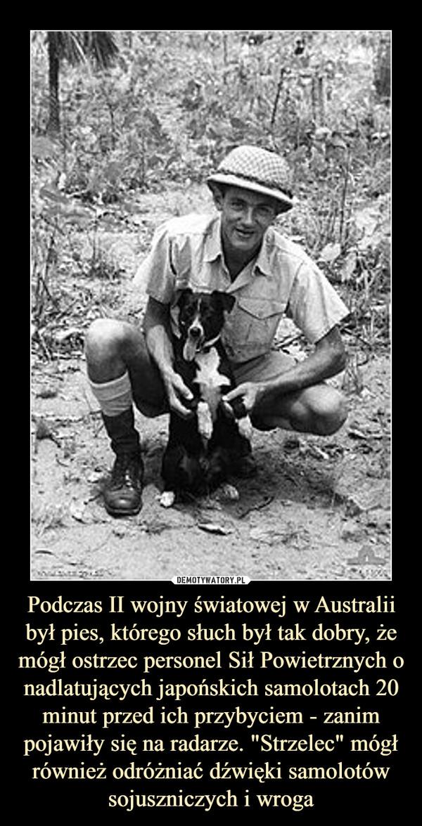 """Podczas II wojny światowej w Australii był pies, którego słuch był tak dobry, że mógł ostrzec personel Sił Powietrznych o nadlatujących japońskich samolotach 20 minut przed ich przybyciem - zanim pojawiły się na radarze. """"Strzelec"""" mógł również odróżniać dźwięki samolotów sojuszniczych i wroga –"""