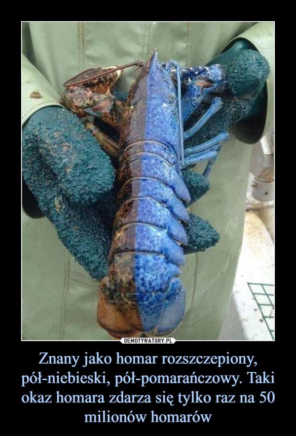 Znany jako homar rozszczepiony, pół-niebieski, pół-pomarańczowy. Taki okaz homara zdarza się tylko raz na 50 milionów homarów –