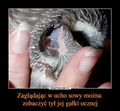 Zaglądając w ucho sowy można  zobaczyć tył jej gałki ocznej
