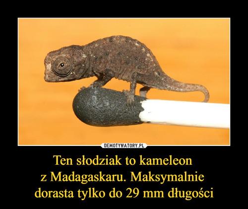 Ten słodziak to kameleon  z Madagaskaru. Maksymalnie  dorasta tylko do 29 mm długości