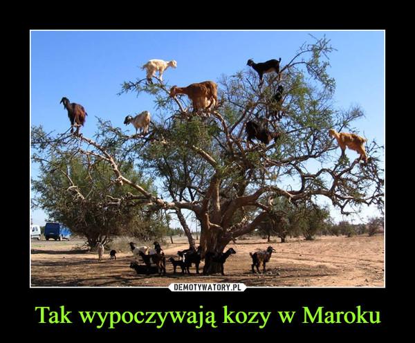 Tak wypoczywają kozy w Maroku –