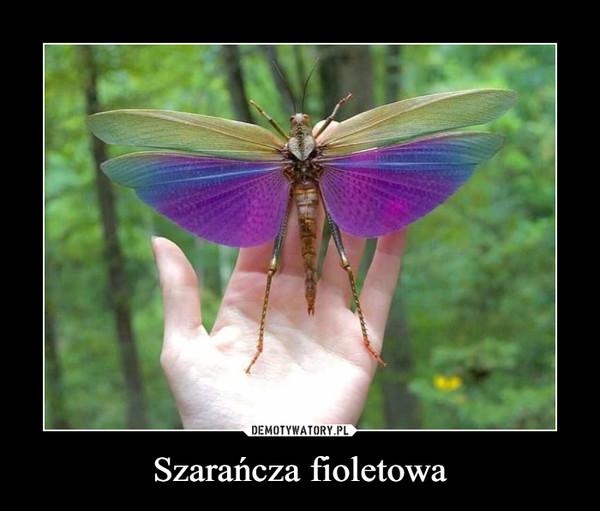 Szarańcza fioletowa –