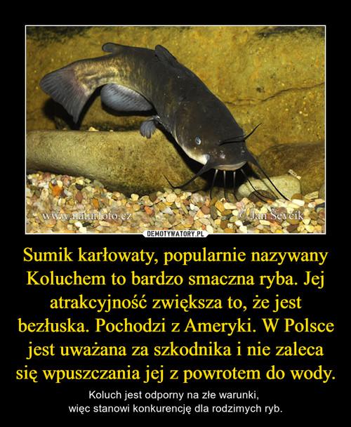 Sumik karłowaty, popularnie nazywany Koluchem to bardzo smaczna ryba. Jej atrakcyjność zwiększa to, że jest bezłuska. Pochodzi z Ameryki. W Polsce jest uważana za szkodnika i nie zaleca się wpuszczania jej z powrotem do wody.