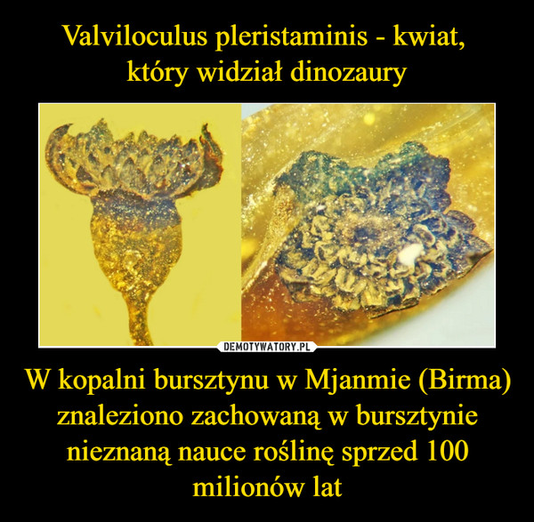 W kopalni bursztynu w Mjanmie (Birma) znaleziono zachowaną w bursztynie nieznaną nauce roślinę sprzed 100 milionów lat –