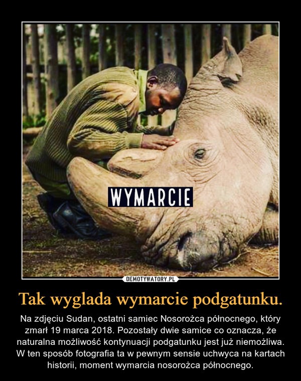 Tak wyglada wymarcie podgatunku. – Na zdjęciu Sudan, ostatni samiec Nosorożca północnego, który zmarł 19 marca 2018. Pozostały dwie samice co oznacza, że naturalna możliwość kontynuacji podgatunku jest już niemożliwa. W ten sposób fotografia ta w pewnym sensie uchwyca na kartach historii, moment wymarcia nosorożca północnego.