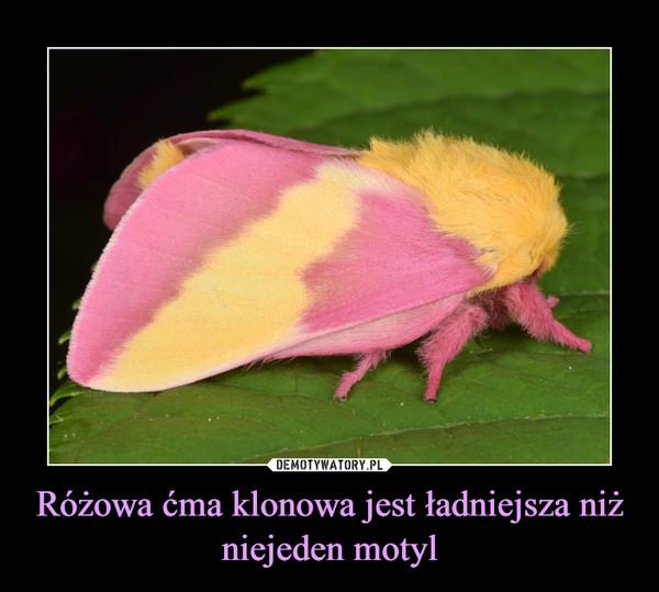 Różowa ćma klonowa jest ładniejsza niż niejeden motyl –