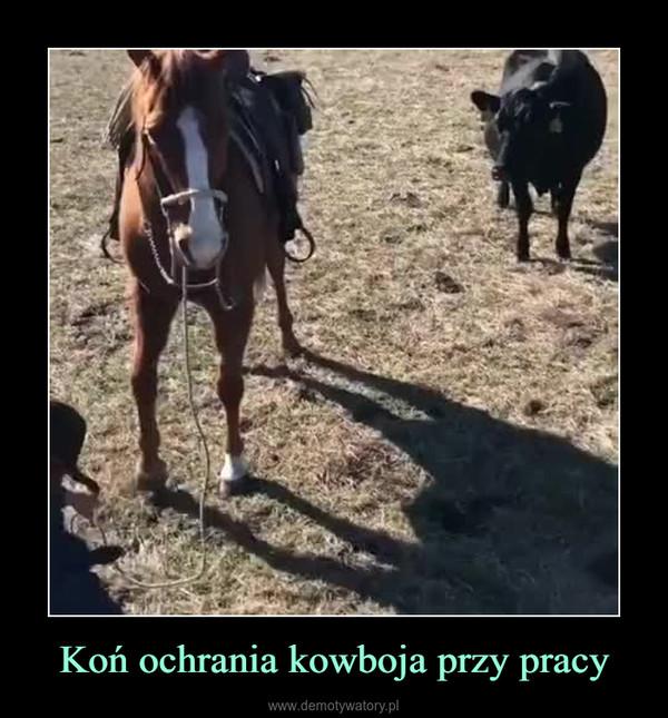 Koń ochrania kowboja przy pracy –