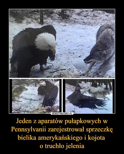 Jeden z aparatów pułapkowych w Pennsylvanii zarejestrował sprzeczkę bielika amerykańskiego i kojota  o truchło jelenia