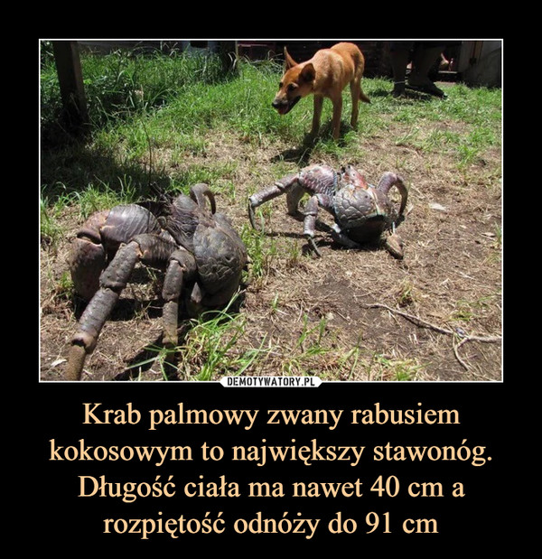 Krab palmowy zwany rabusiem kokosowym to największy stawonóg. Długość ciała ma nawet 40 cm a rozpiętość odnóży do 91 cm –