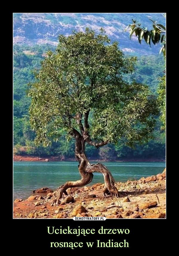 Uciekające drzewo rosnące w Indiach –