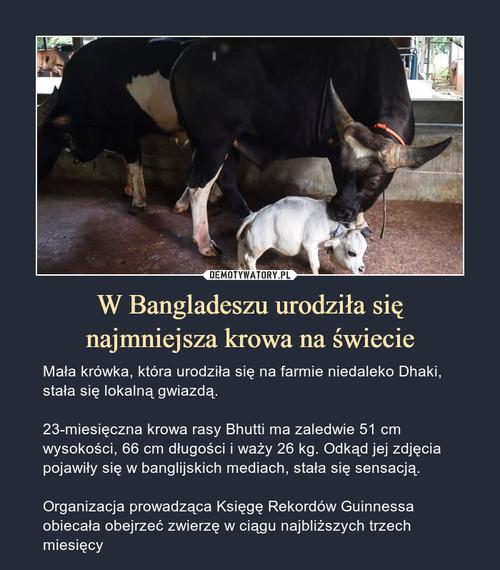 W Bangladeszu urodziła się najmniejsza krowa na świecie