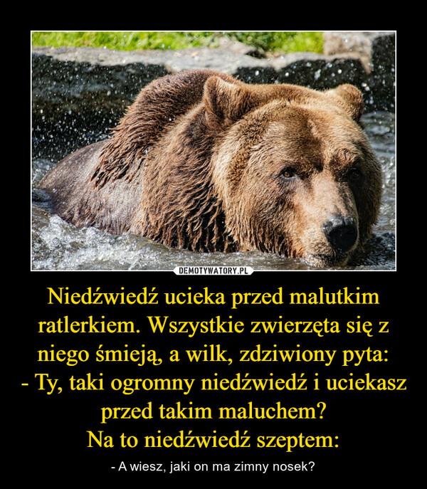 Niedźwiedź ucieka przed malutkim ratlerkiem. Wszystkie zwierzęta się z niego śmieją, a wilk, zdziwiony pyta: - Ty, taki ogromny niedźwiedź i uciekasz przed takim maluchem? Na to niedźwiedź szeptem: